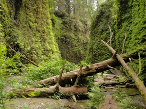 Fallen-trees-in-Prairie-Creek-Redwoods-Fern-Canyon-Trail1
